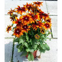 Rudbeckia Plant - SmileyZLaughing