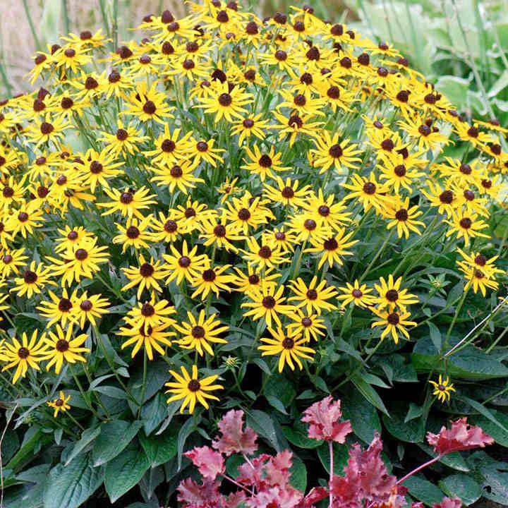 Rudbeckia plant little goldstar all perennial plants perennial rudbeckia plant little goldstar mightylinksfo
