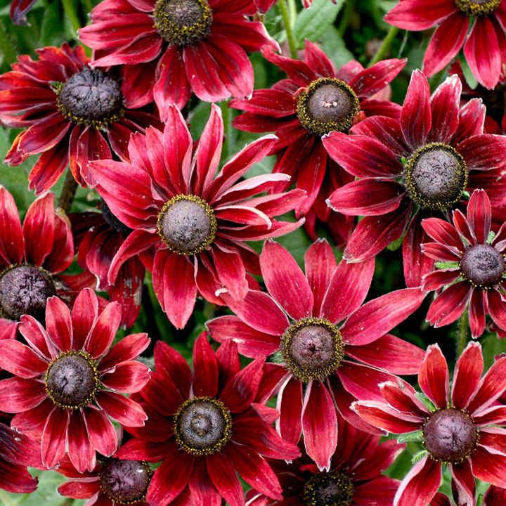 Rubeckia Plant - Cherry Brandy
