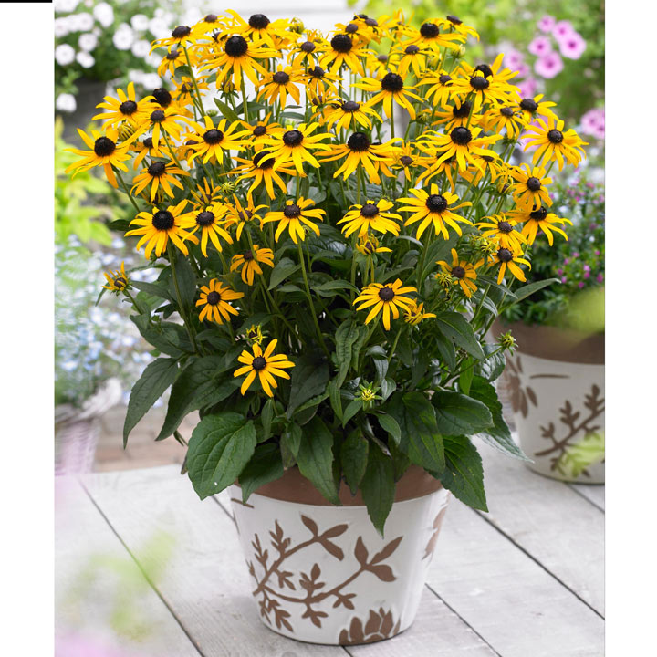 Rudbeckia Plant - Little Goldstar