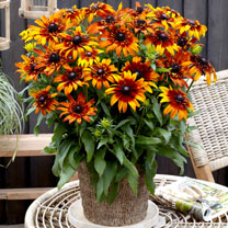Rudbeckia Plant - Summerina Fringle Fudge