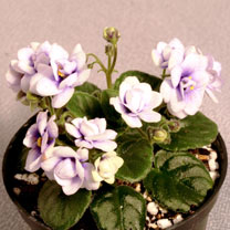 Saintpaulia Plant - Optimara Little Moonstone