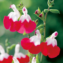 Salvia Plants - x Jamesnsis Hot Lips