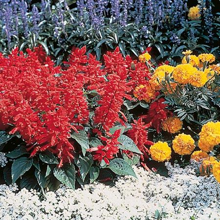 Salvia Splendens Seeds - Firecracker