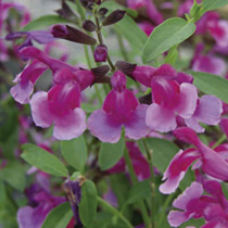 Salvia Plant - Icing Sugar