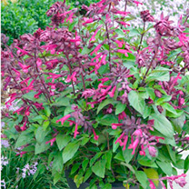 Salvia Plant - Love and Wishes