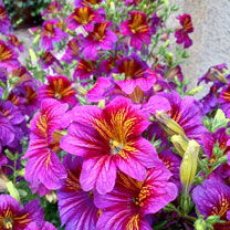 Salpiglossis Seeds - Little Friends Mixed