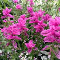 Salvia horminum Seeds - Pink Sunday