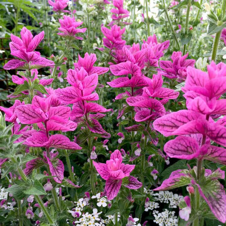 Salvia horminum Seeds - Pink Sunday