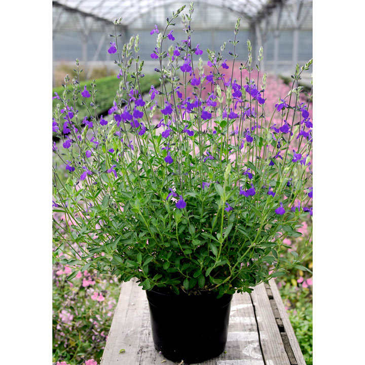 Salvia Plant - Blue Note