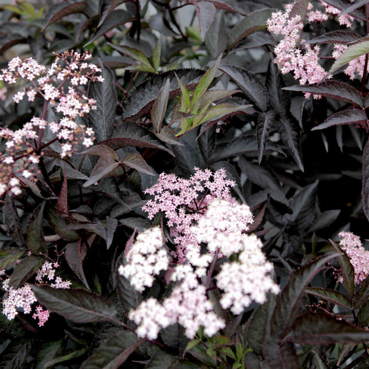 Sambucas nigra Plant - Black Beauty
