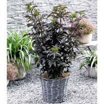 Sambucas nigra Plant - Black Tower