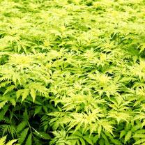 Sambucus roacemosa Plant - Sutherland Gold