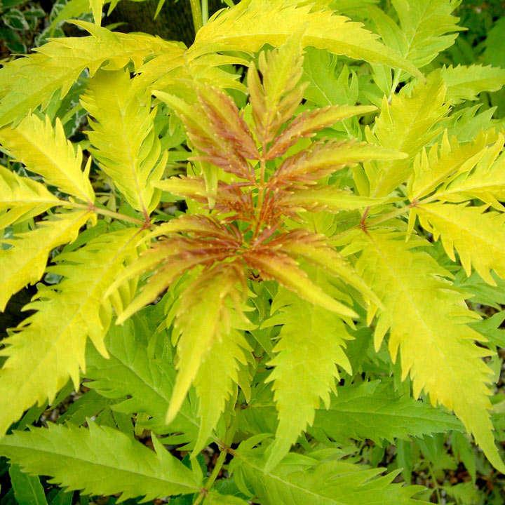 Sambucus racemosa Plant - Plumosa Aurea