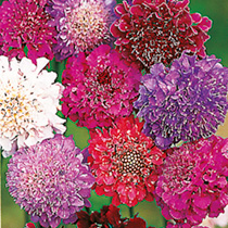 Image of Scabiosa Seeds - Dobies Giant Hybrids