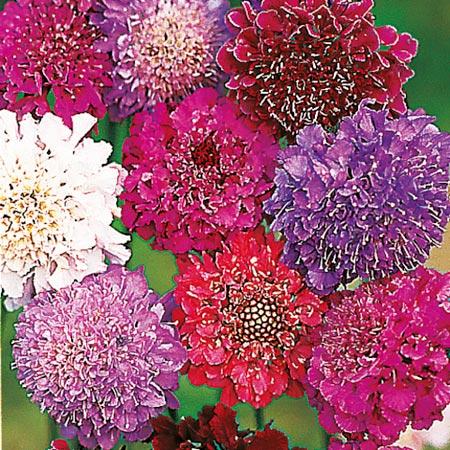 Scabiosa Seeds - Dobies Giant Hybrids