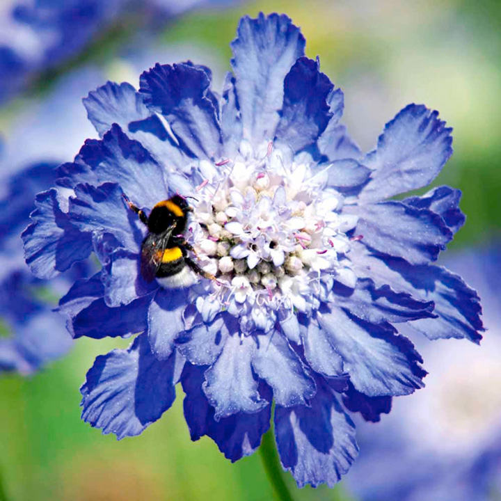 Scabiosa Plant - Fama Deep Blue