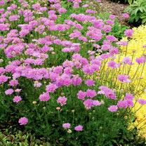 Scabiosa Plant - Vivid Violet