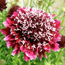 Scabiosa Plants - Royal Ruby