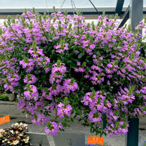 Scaevola Plants - Scala Blue