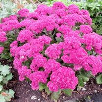 Sedum Plants - Mr Goodbud