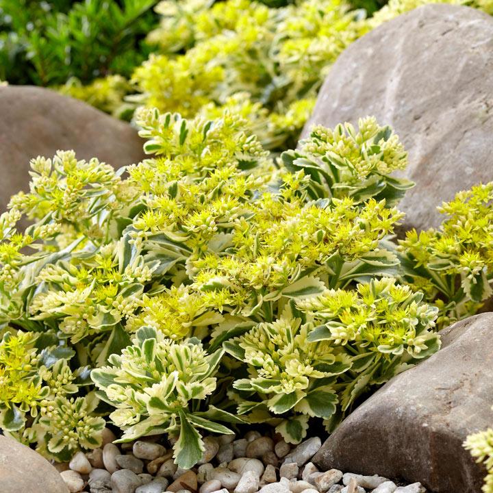 Sedum Atlantis All Perennial Plants Perennial Plants