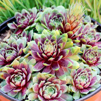 Sempervivum Plant - Ruby Heart