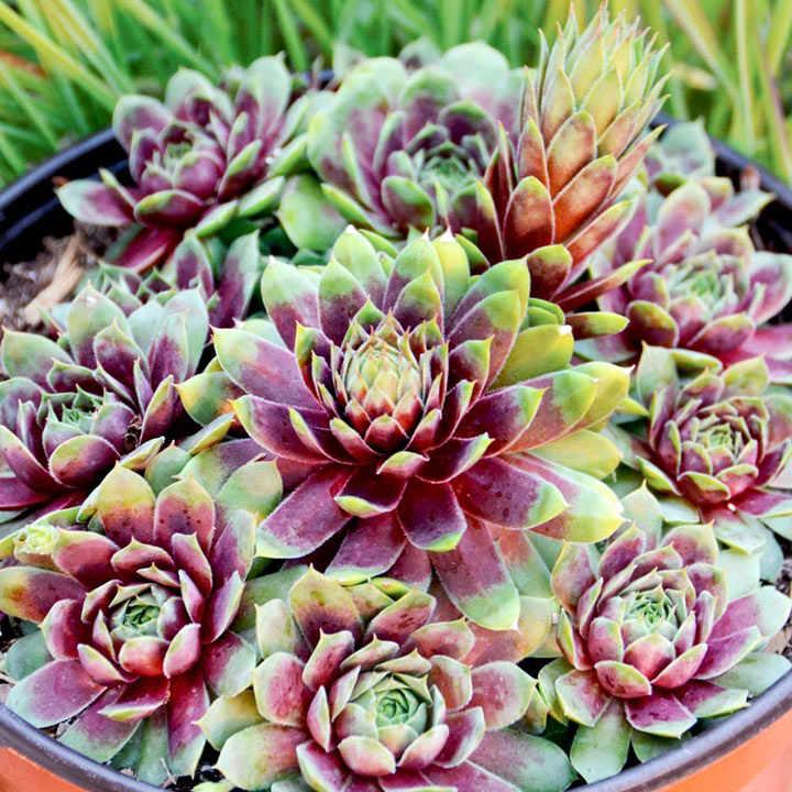 Sempervivum Plant - Ruby Heart