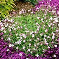 Silene uniflora Plant - Rosea