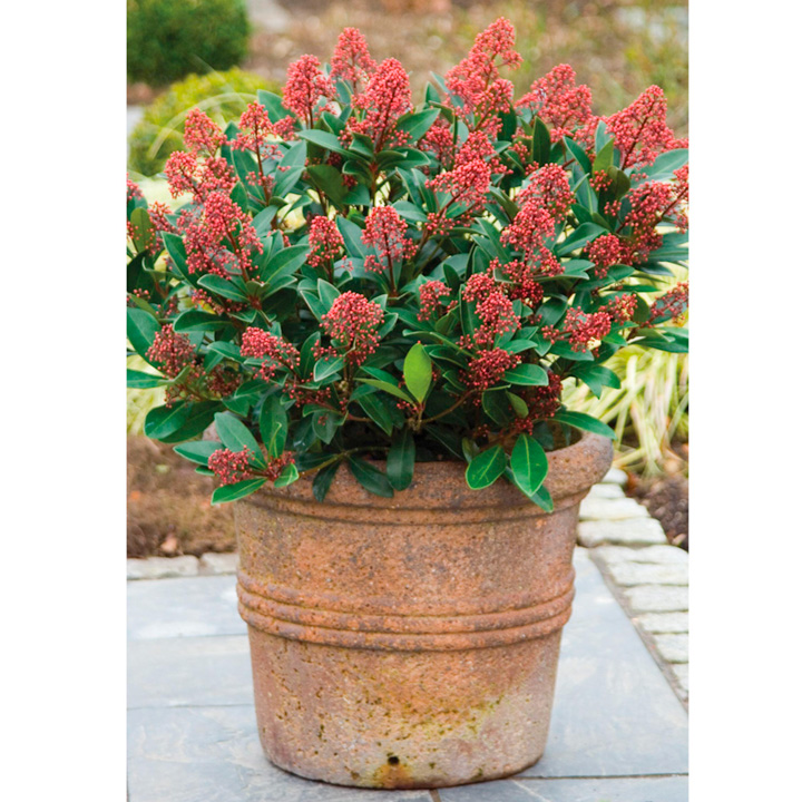 Skimmia japonica Plant - Rubella