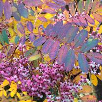 Sorbus hupehensis Tree - Pink Pagoda