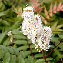 Sorbaria sorbifolia Plant - Sem