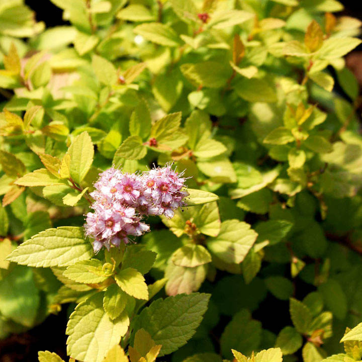Spiraea japonica Plant - Sundrop® First Editions®