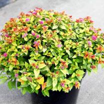 Spiraea japonica Plant - Magic Carpet