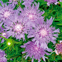 Stokesia Plants - Blue Star