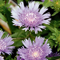 Stokesia Plants - Mels Blue