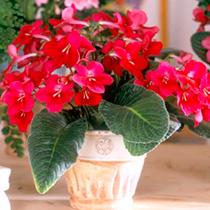 Streptocarpus Plant - Hope