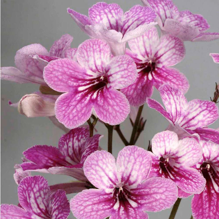 Streptocarpus Plant - Celebration