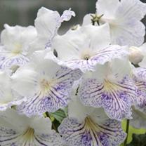 Streptocarpus Plant - Delia