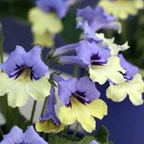 Streptocarpus Plant - Harlequin Blue