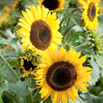 Sunflower Plants - Waooh!