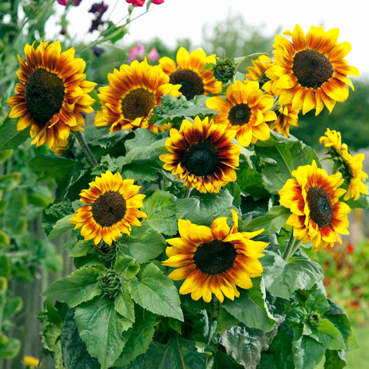 Sunflower Seeds - Solar Flare F1