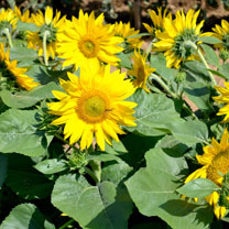Sunflower Seeds - Suntastic F1 (Yellow-centred)