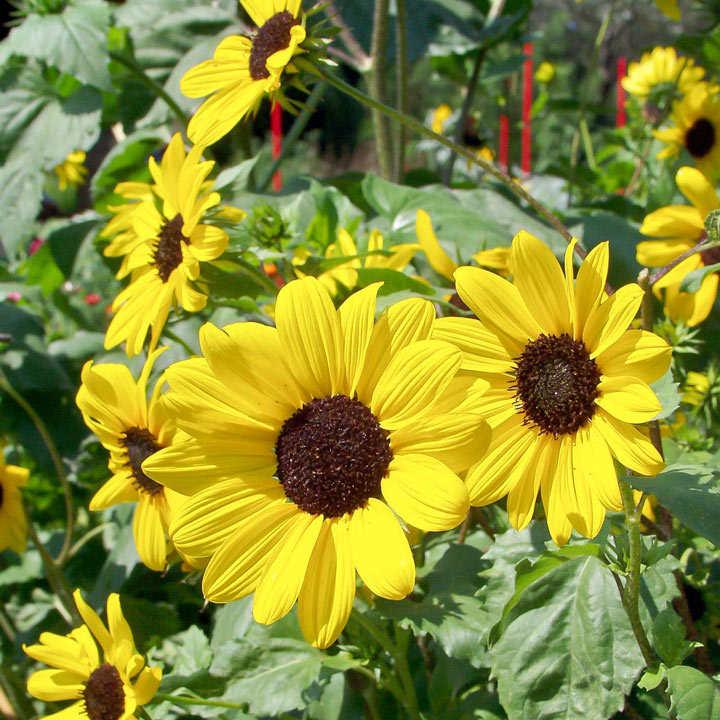 Sunflower (Organic) Seeds - Small Yellow Flower