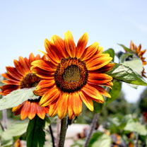 Sunflower (Organic) Seeds - Medium Red Flower