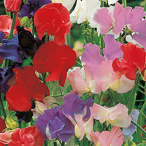 Image of Sweet Pea Seeds - Old Fashioned Mixed