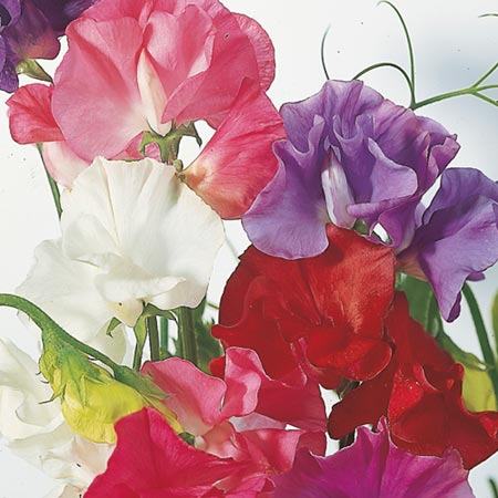 Sweet Pea Seeds - Dobies Giant Waved Mixed