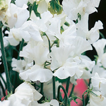 Sweet Pea Seeds - White Leamington