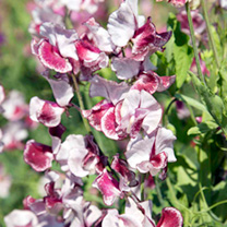 Sweet Pea Seeds - Wiltshire Ripple