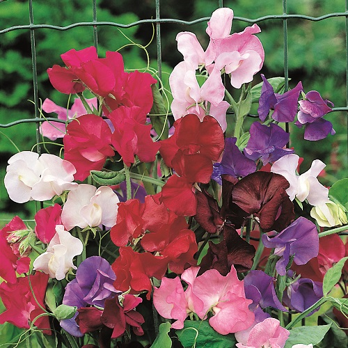 Sweet Pea Seeds - Rob's Perfect Summer
